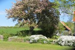 Äppelträdet blommar