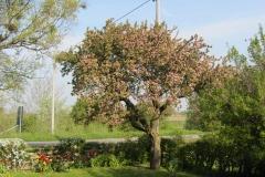Åppelträd i blomm