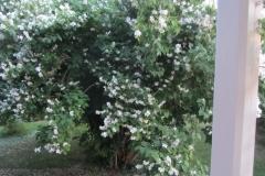 Jasmin i blomm